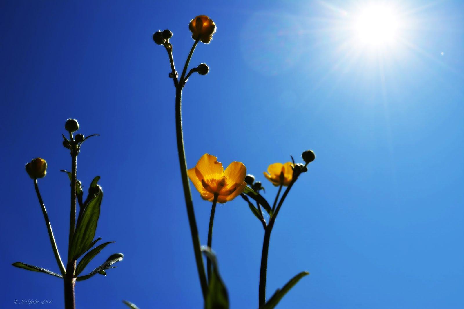 Sonnen-Blume