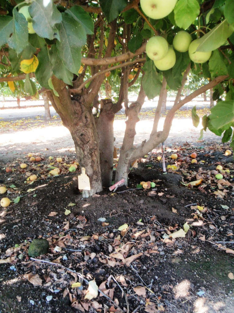 xtremehorticulture of the desert planting two cherries in a