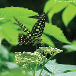 "A ""Tailed Jay Butterfly""  on its ""Meal"""