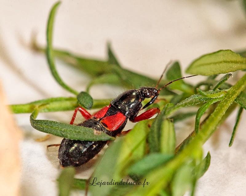 Prostemma guttala une l gante punaise en rouge et noir - Insecte rouge et noir ...