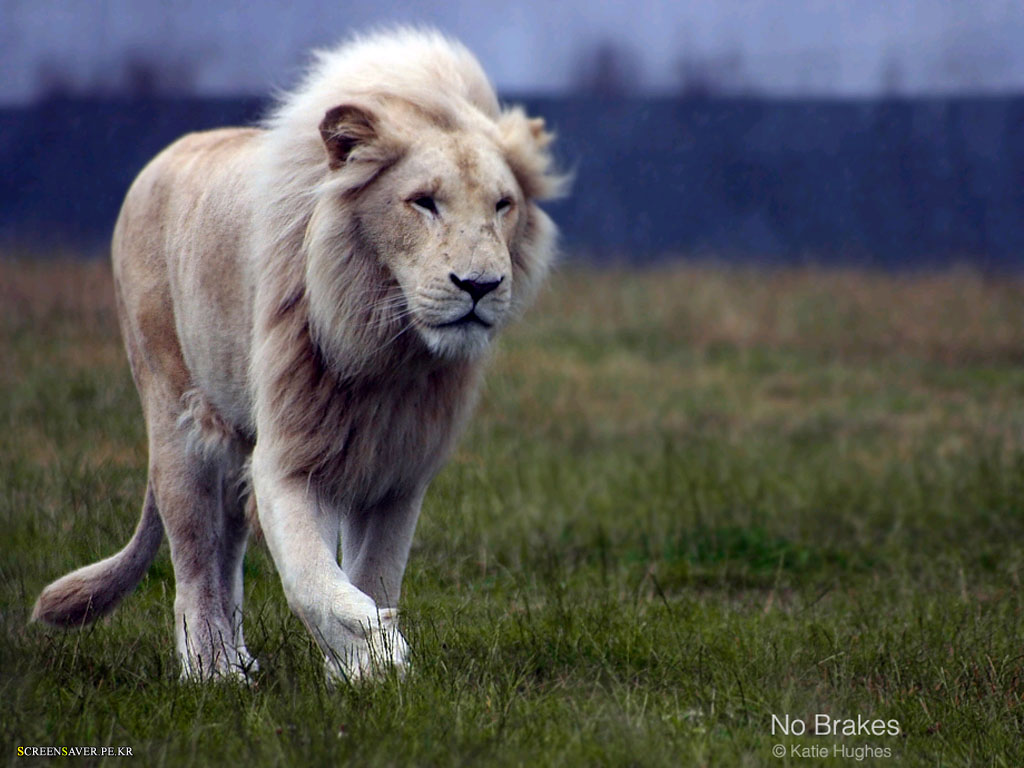 White Lion Hd Wallpapers 2012