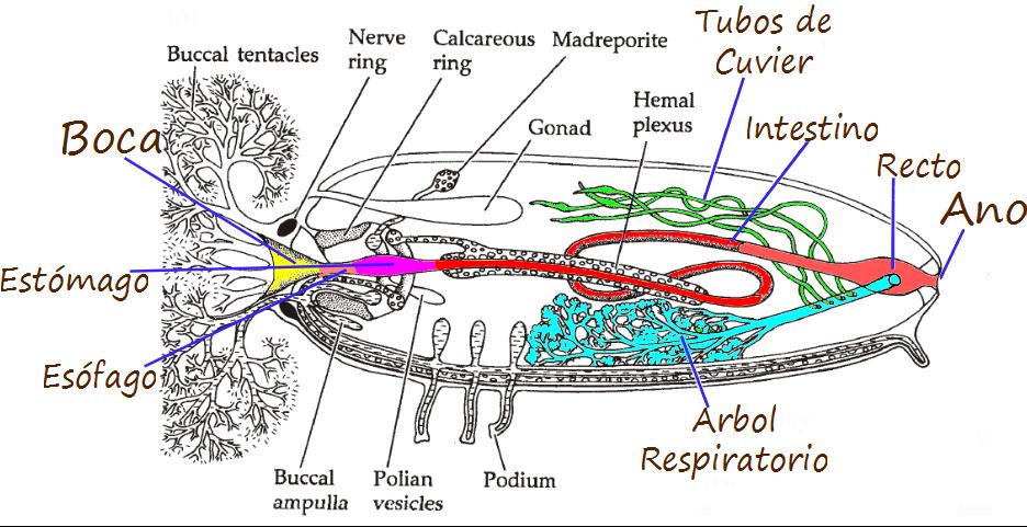 """Ciencias de Joseleg: Digestión en los pepinos de mar """"holoturoidea"""""""