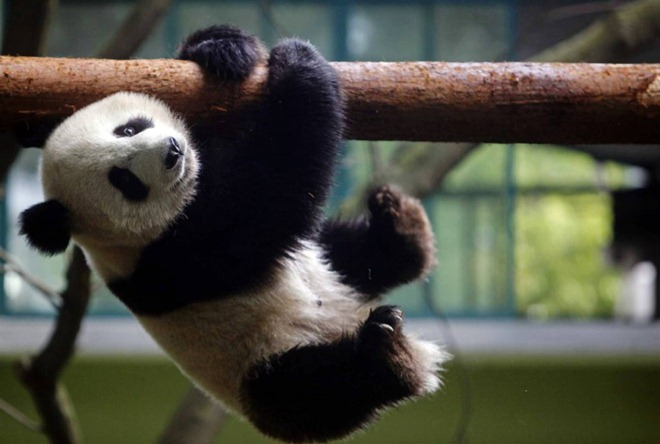 images of cute baby pandas - photo #28