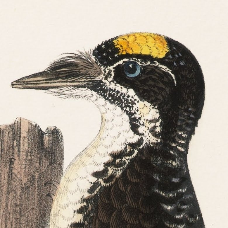 19th century illustration of Woodpecker's head