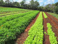 Rows of lettuces and mint at the organic farm