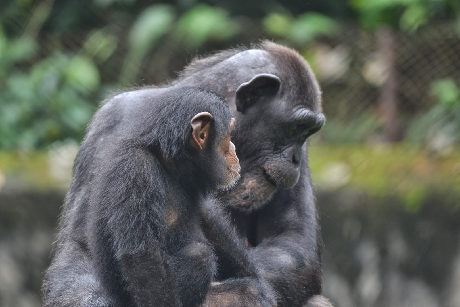 chimpanzees at nandankanan zoological park