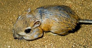 Rato-canguru
