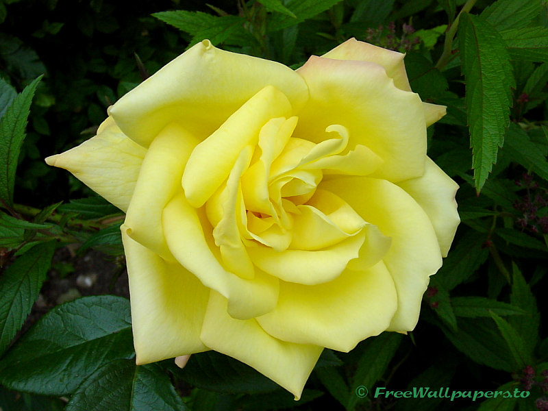 rose flower wallpaper. Yellow Rose Flower Wallpaper
