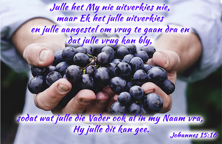 Johannes 15:16   Julle het My nie uitverkies nie, maar Ek het julle uitverkies en julle aangestel om vrug te gaan dra en dat julle vrug kan bly, sodat wat julle die Vader ook al in my Naam vra, Hy julle dit kan gee. #afrikaans #bybelvers