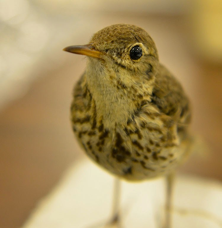 ...this American Pipit mounted bird looks real. You wouldn't be able to tell it's a taxidermied bird if you didn't know!