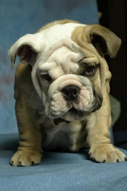 5 interesting fun facts about English Bulldogs