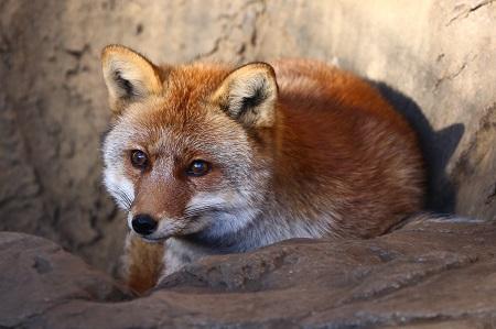 Vulpes vulpes japonica