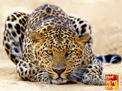 Hot NEWS Blog  wir bloggen wOw   Leoparden Kraft und sthetik pur