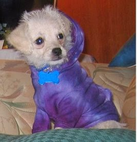 Small white dog in tie-dyed purple hoodie