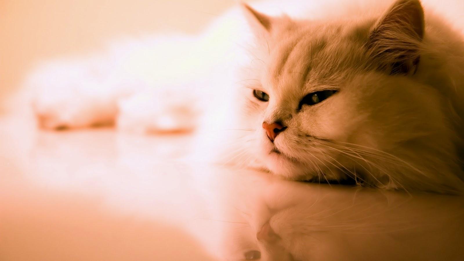 http://3.bp.blogspot.com/-lw_G6uJ_wXQ/UAcut50WM_I/AAAAAAAAA8E/tPpq1hJcSOc/s1600/cat-wallpaper-31.jpg