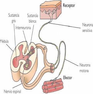 Reflejos sistema nervioso pdf