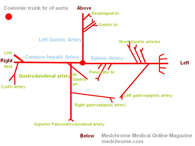draw to know it - branches of celiac artery and blood supply of, Human Body
