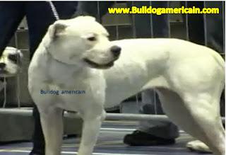 standard bulldog americain bulldog americain bulldog americain bulldog americain