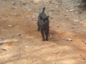 Beautiful stray black cat at Mabukala.