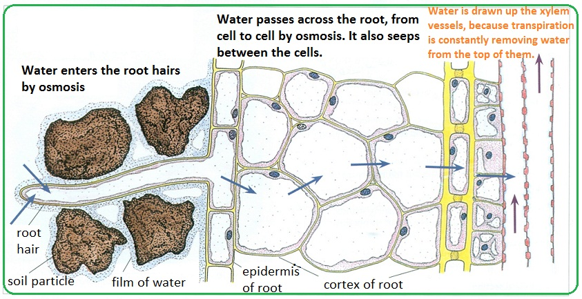 62 Passage Of Water Through Root Stem And Leaf Biology Notes For