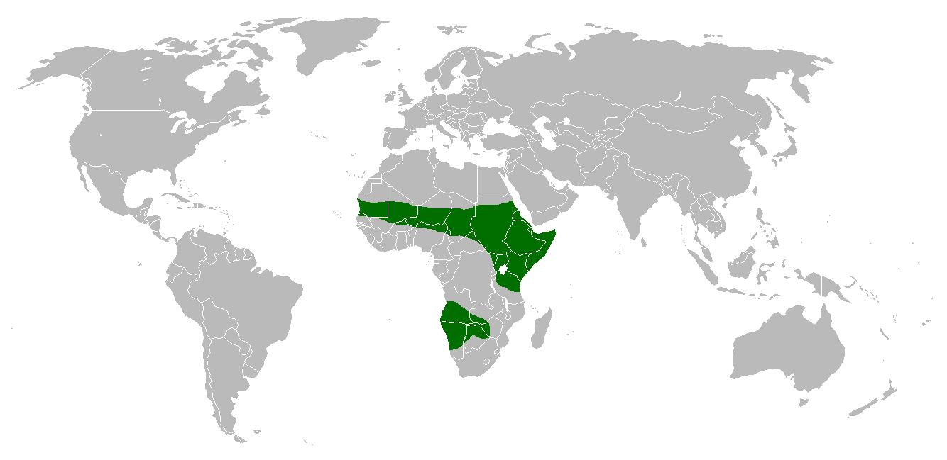 Avestruz, animales africanos, aves gigantes, imagenes del avestruz