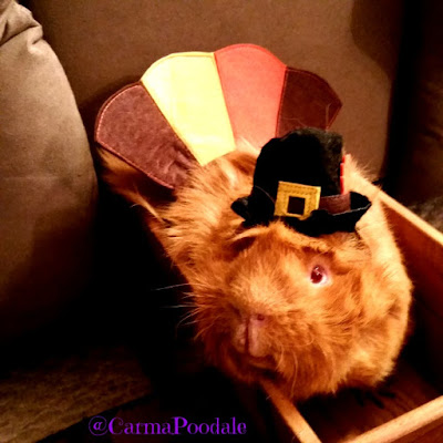 Cinnamon the guinea pig dressed as a turkey