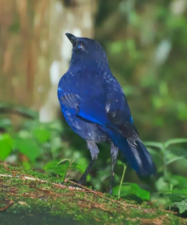 Taiwan Whistling Thrush (Myiophoneus insularis)