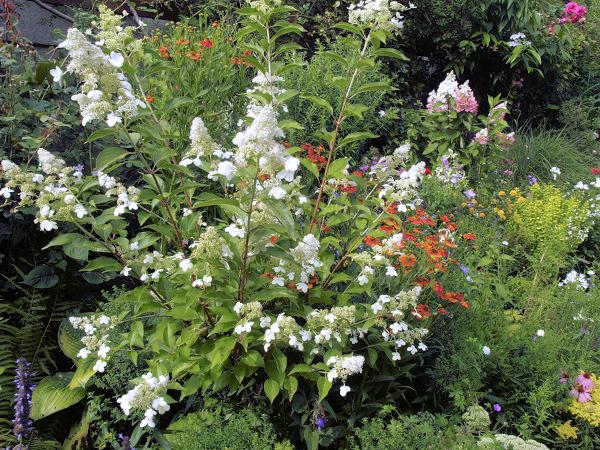 hydrangea paniculata die rispenhortensie 39 kyushu 39. Black Bedroom Furniture Sets. Home Design Ideas