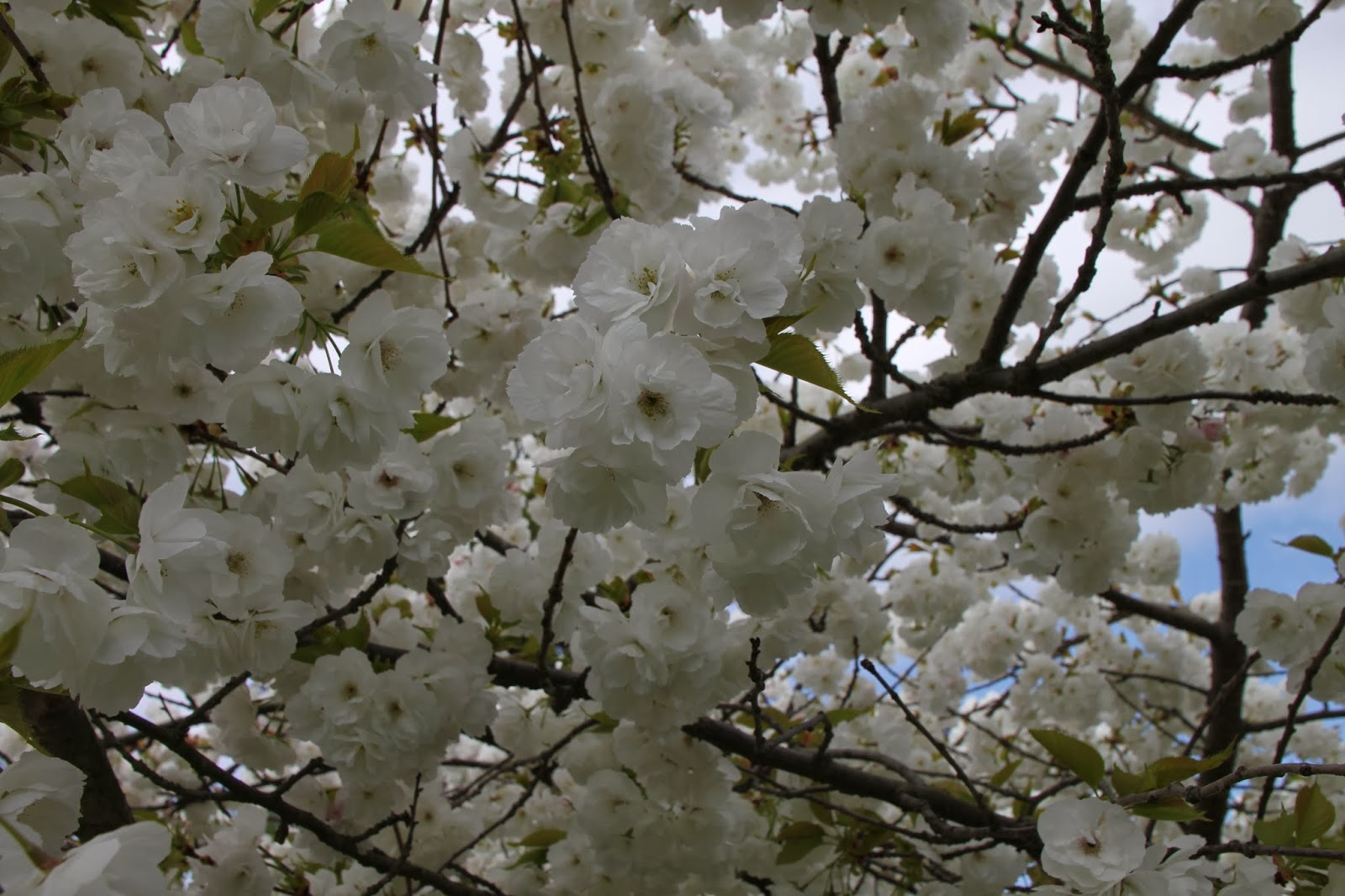 Trees and Plants: White Cherry Blossoms Trees