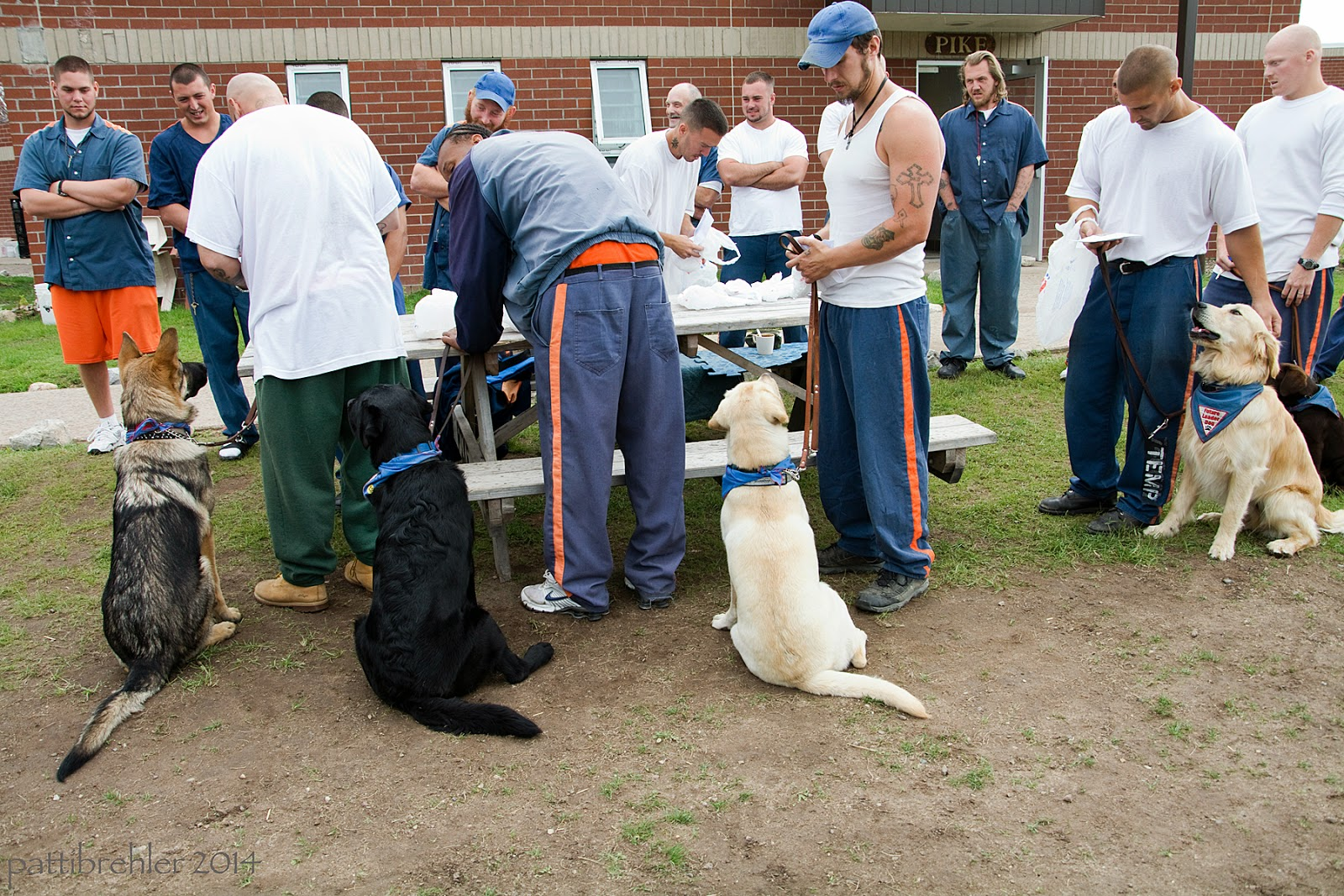 There are a group of inmates standing in line next to a wood picnic table, with their puppies sitting nearby. From left to right is a German Shepherd, a black lab, a yellow lab, a golden retriever and a chocolate lab. There are other men standing in the background looking on. They are outside in the prison yard and the brick wall of the unit is behind them.