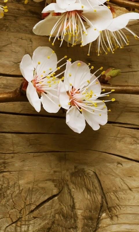 hình nền điện thoại hoa đào đẹp