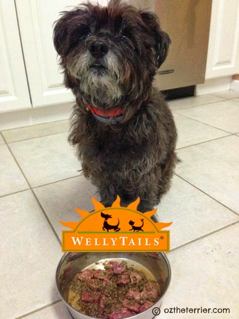 Oz the Terrier has his first taste of WellyChef Veggie & Fruit + Chia Canine Blend raw food for dogs