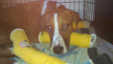 Aaliyah -- the dog with three broken feet!