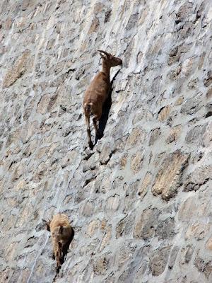 Kehebatan Kambing Alpine Ibex Berjalan Di Atas Cerun