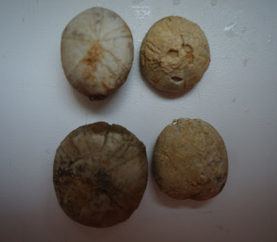 Four Fossils Sea Urchin / Echinoid