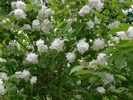 fragrant mock orange close-up