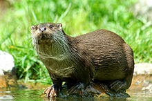 http://fr.wikipedia.org/wiki/Loutre