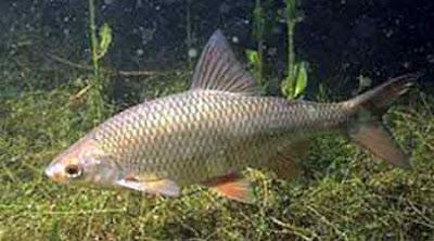 Laghetto di basiglio i pesci del laghetto di basiglio for Pesci di fiume
