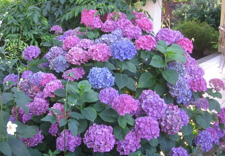 Hydrangea popular ornamental plants the fancy flora - Caring hydrangea garden ...