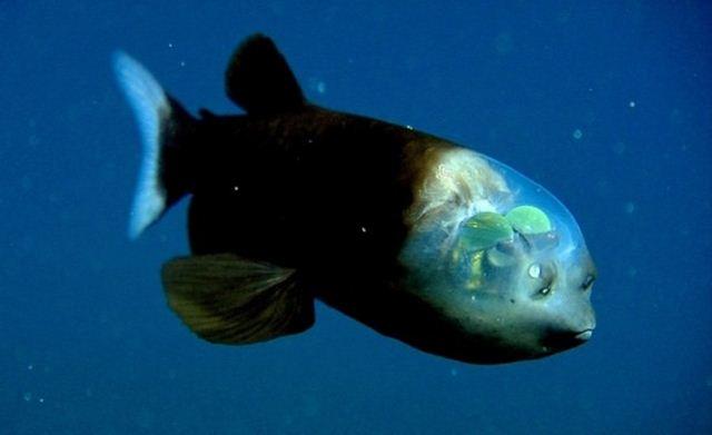 Ikan Transparan Eksotis