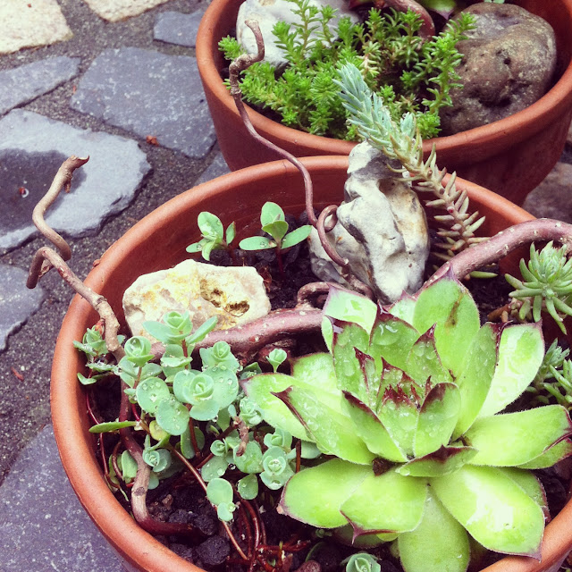 "My new balcony plants - ""Fee ist mein Name"""