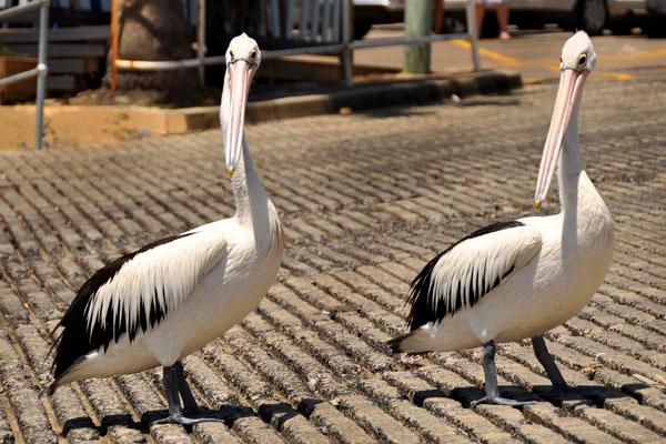 pelican australia beach