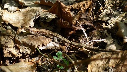 Skogsödla - Zootoca vivipara