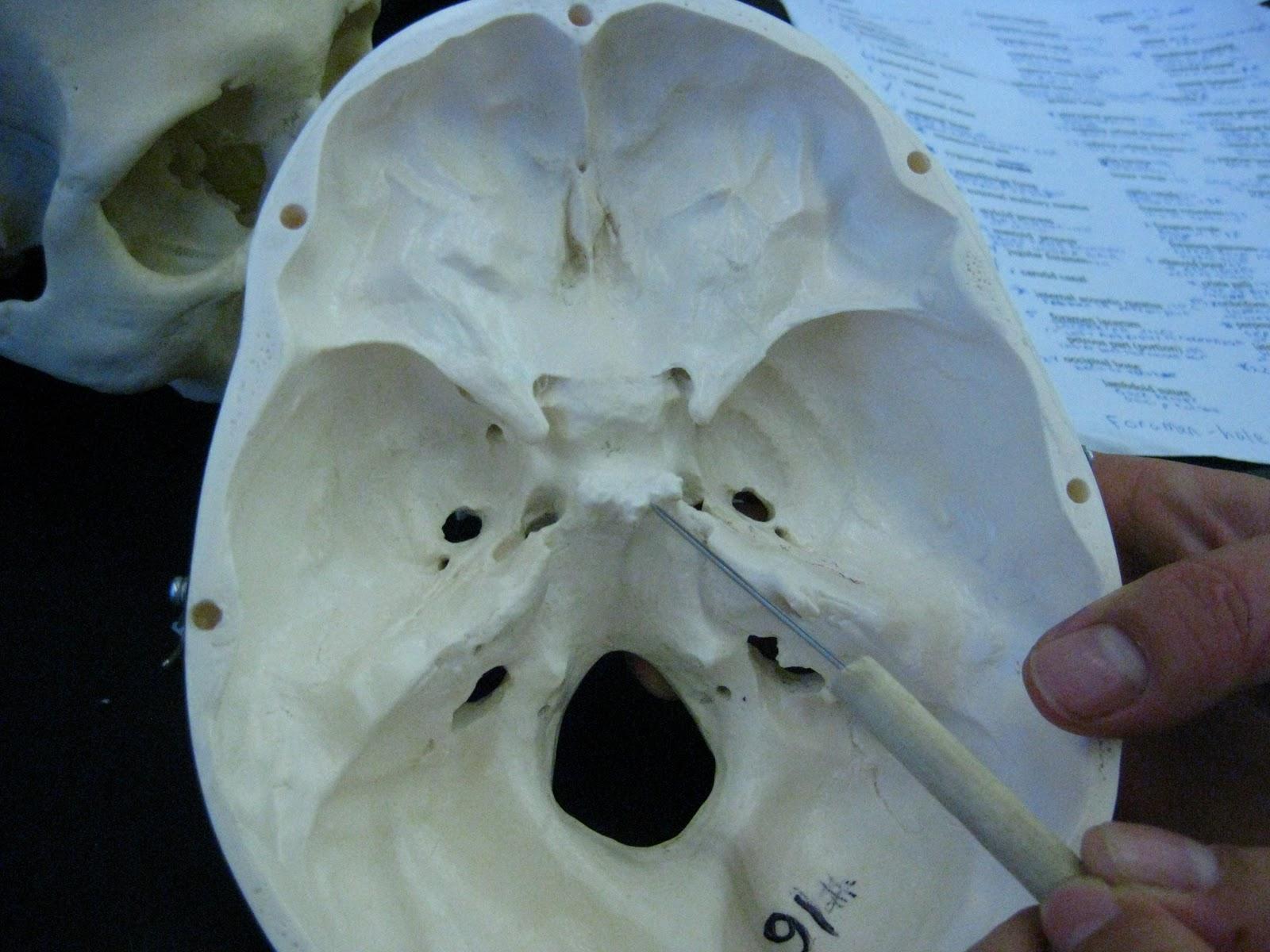 Boned: Human Skull - sella turcica (of sphenoid bone)