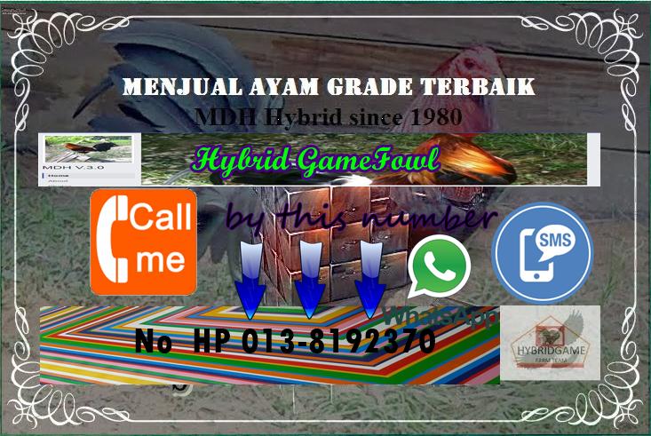 Hybrid GameFowl Team Sarawak