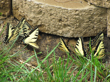 """Puddling"" Tiger Swallowtails"