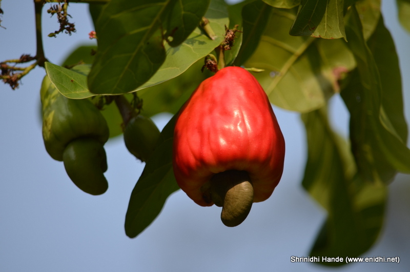 cashew fruit lesser known fruits  enidhi india, Beautiful flower