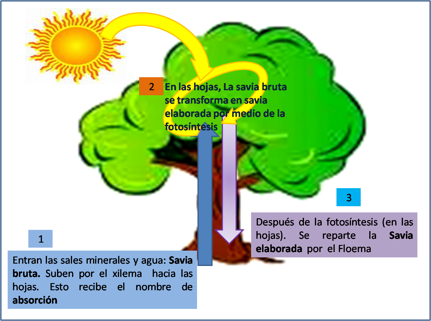 LA CIRCULACIÓN EN LAS PLANTAS