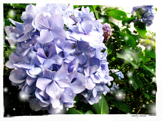blue mop head hydrangea in the garden