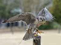 HD desktop wallpaper falcons collection (5)